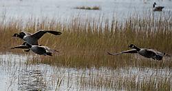 DSC_1362_Geese_Landing_from_LR.jpg