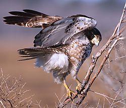 DSC_1577_Northern_Harrier_Cropped.jpg