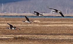 DSC_1697_-_Geese_Landing.jpg