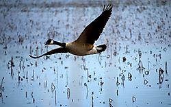 DSC_1889_-_Goose_In_Flight.jpg
