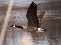 DSC_1894_-_Goose_in_Flight.jpg