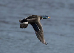 DSC_1967_-_Mallard_in_Flight.jpg