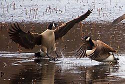DSC_2096_Two_Geese.jpg