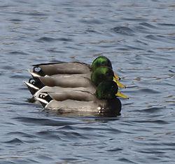 DSC_2124_-_Ducks_in_a_Row.jpg