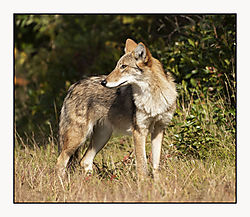 DSC_2213_-_Coyote_Cropped_White_Border.jpg