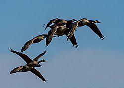 DSC_4295_-_Geese_In_Flight.jpg