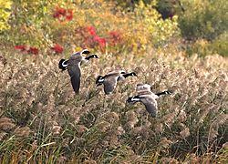 DSC_4798_Geese_Landing.jpg