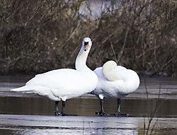 DSC_6105_Two_Swans_Cropped-sharpen-focus_V2.jpg