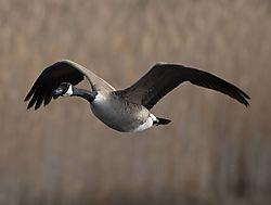 DSC_7355_Goose_in_Flight_V2.jpg