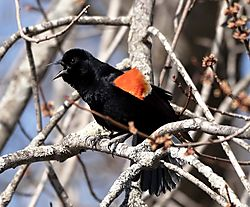 DSC_7544_-_Screaming_Red-winged_Blackbird_V2.jpg