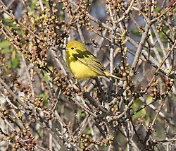 DSC_8199_-_Yellow_Warbler.jpg