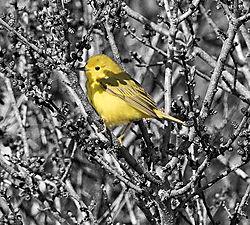 DSC_8199_-_Yellow_Warbler_-_Cropped_B_W_NIK.jpg