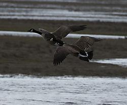 DSC_8298_-_Two_Geese.jpg