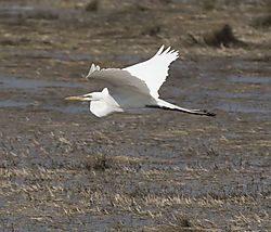DSC_8372_-_Great_Egret.jpg
