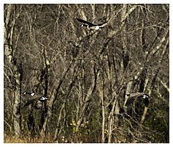 DSC_9443_Geese_Against_the_Trees_from_LR_V2.jpg