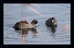 DSC_9586_-_American_Coots_V2_With_Border.jpg