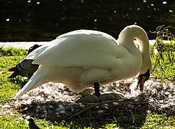 IMG_8452_Mama_Swan_from_LR.jpg
