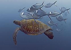 Green_Turtle_Steel_Pompano.jpg