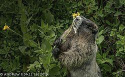 Better_Marmot.jpg