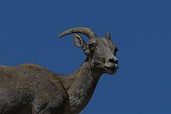 Big_horn_in_the_rockies_73018_3.jpg