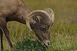 Big_horn_sheep_close_up.jpg
