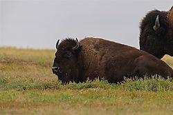 Bison_laying_down.jpg