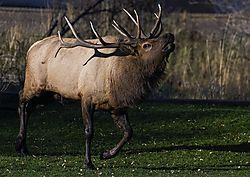 Elk_Bugle.jpg