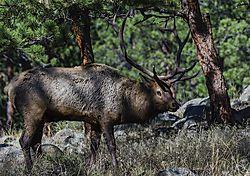 Elk_RMNP.jpg