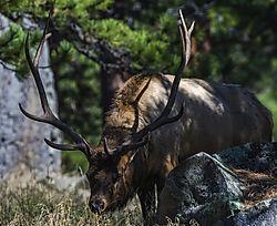 Elk_RMNP_2.jpg