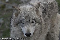 Grey_Wolf1.jpg
