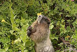 Marmot_eating_flower.jpg