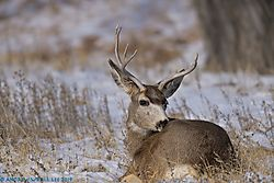 Mule_deer_buck_Arsenal_020919_3.jpg