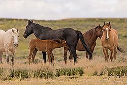 Mustang_fole_feeding.jpg
