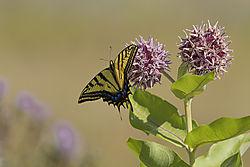 anise_swallowtail_butterfly.jpg