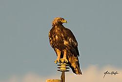 golden_eagle_at_sunset_june_02_2020.jpg