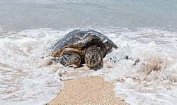 turtle_coming_in_41721.jpg