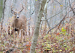 Whitetail_Deer_buck_-00314.jpeg