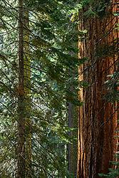 Redwood_and_Cedar_-_small.jpg