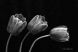 Tulips_05-10-14_14.JPG