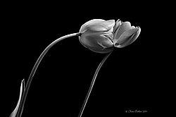 Tulips_05-10-14_94.JPG