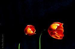 Tulips_on_Fire.JPG