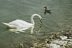 labud_na_reci_Dunav.jpg