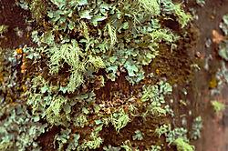 Lichen-on-Our-Maple-Tree.jpg