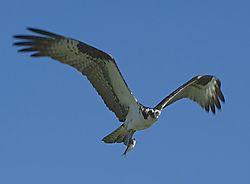 Osprey-111.jpg