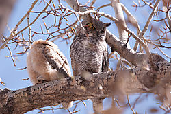 DSC_8039_Great_Horned_Owl_chick.jpg