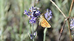 moth_on_lavendar.jpg