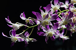 L_Ginter_Orchids_2_20140705.jpg