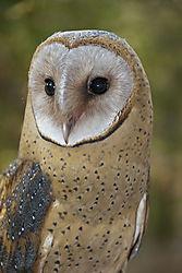 Barn_Owl020w.jpg