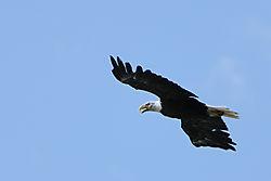 7161_Flying_Eagle.jpg