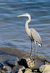 8-9-14-PerryPoin_040---Heron.jpg
